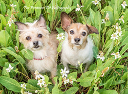 Lola and Rio in meadow of  flowers