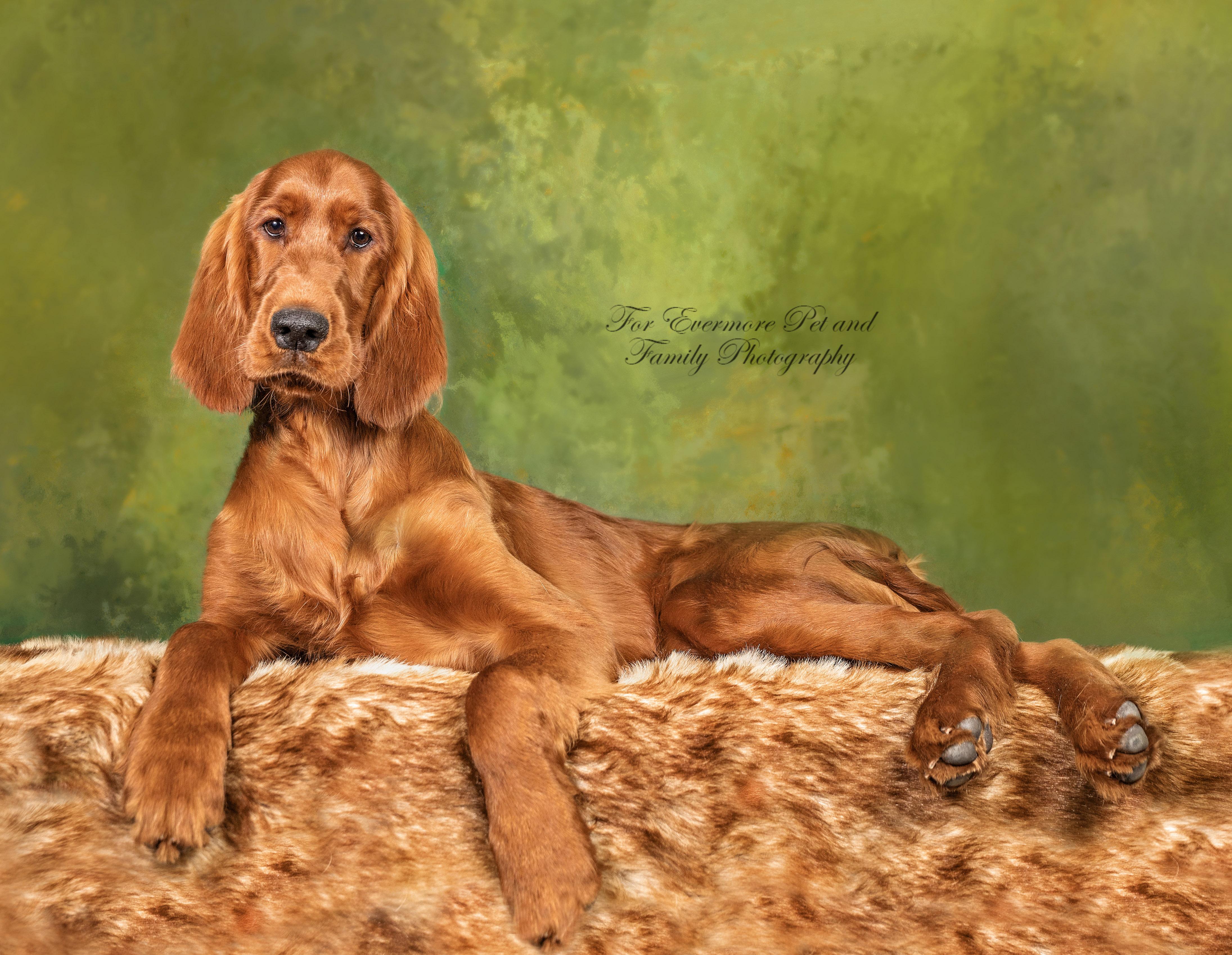 Irish Setter puppy August
