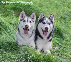 Siberian Huskies Rasta and Keiana
