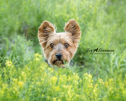 Yorkie in the meadow