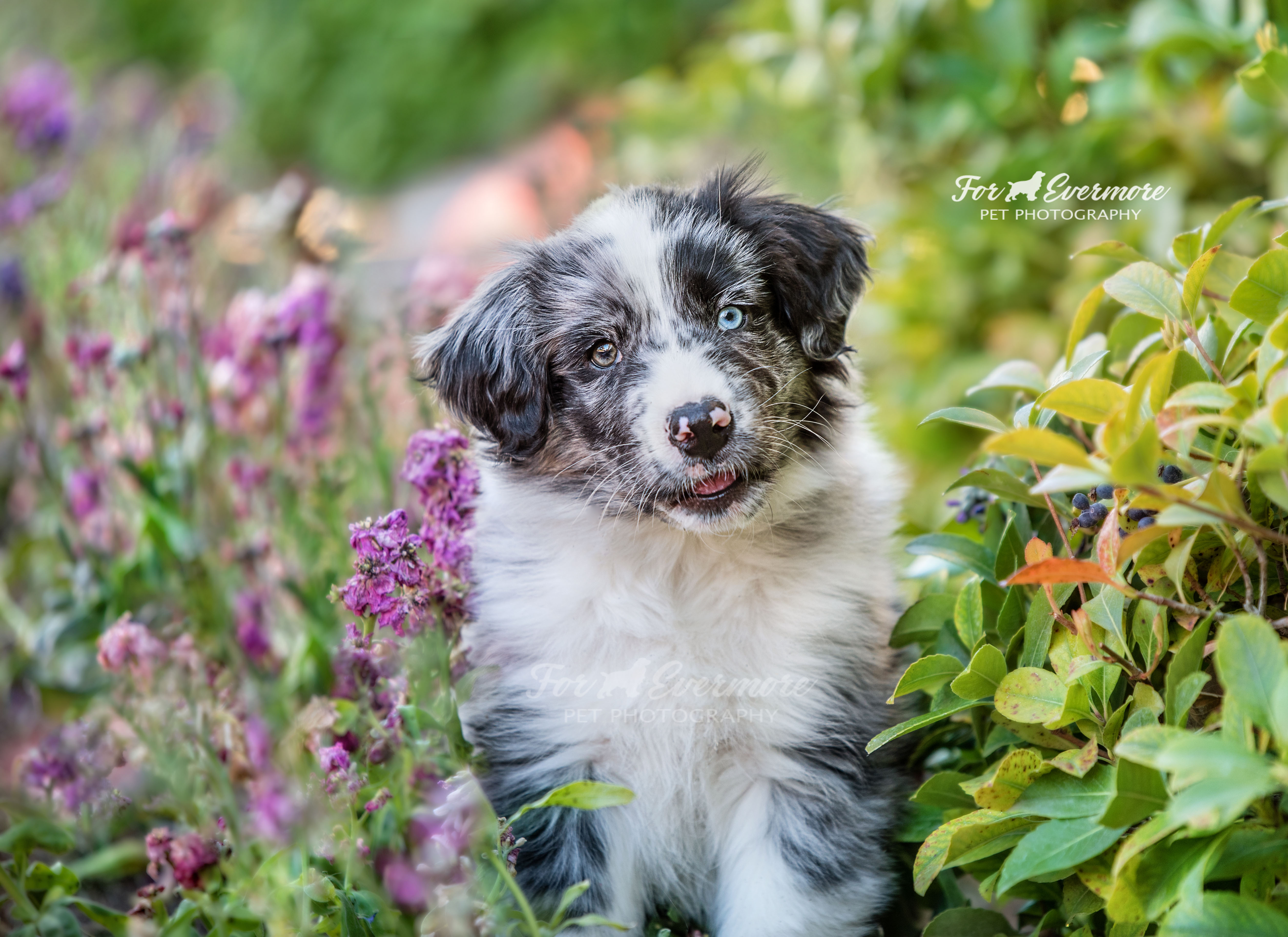 Oliver a 10 week old Aussie