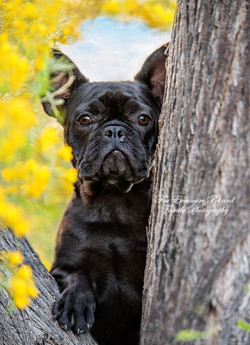French Bull dog Pixie