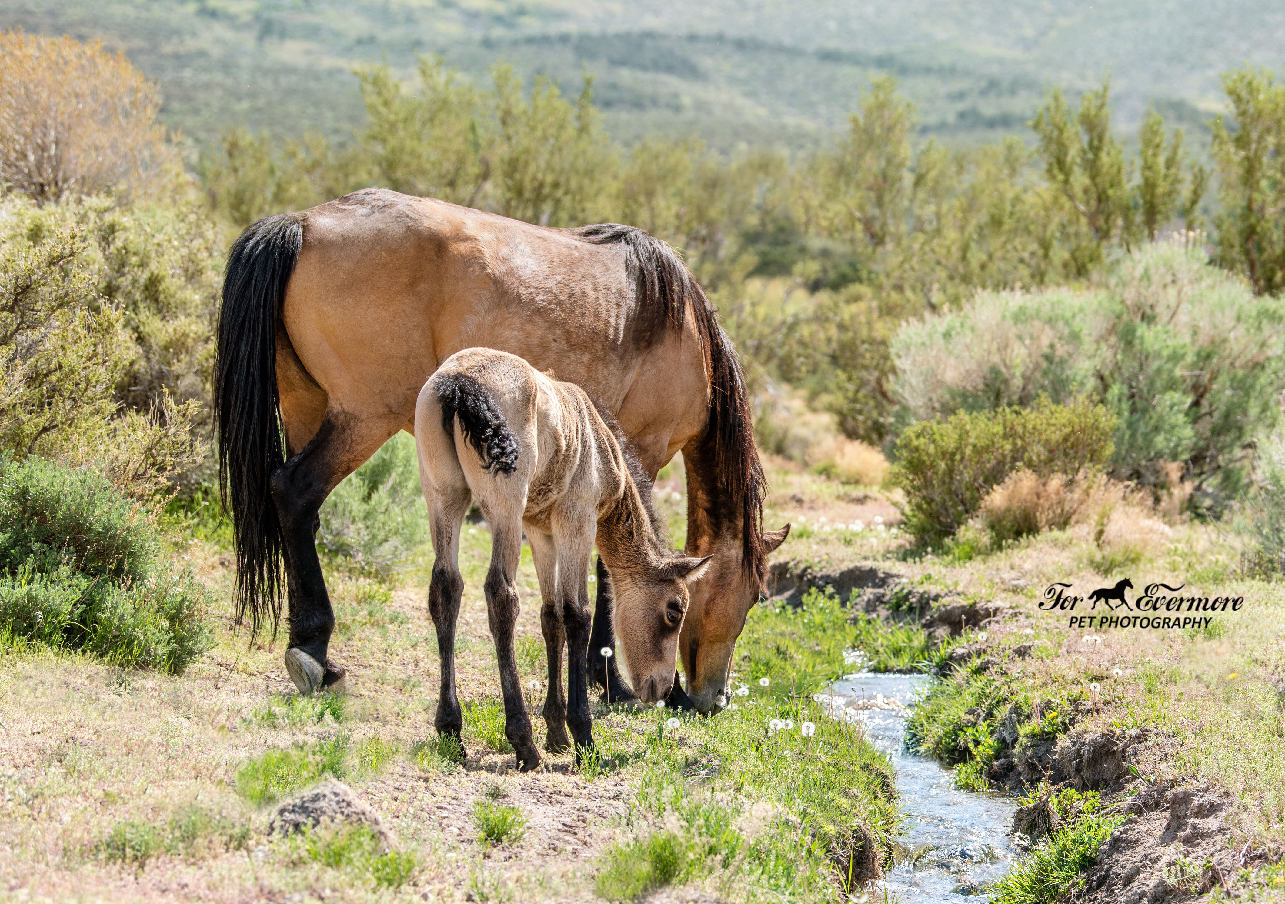 Five day old wild horse with mom