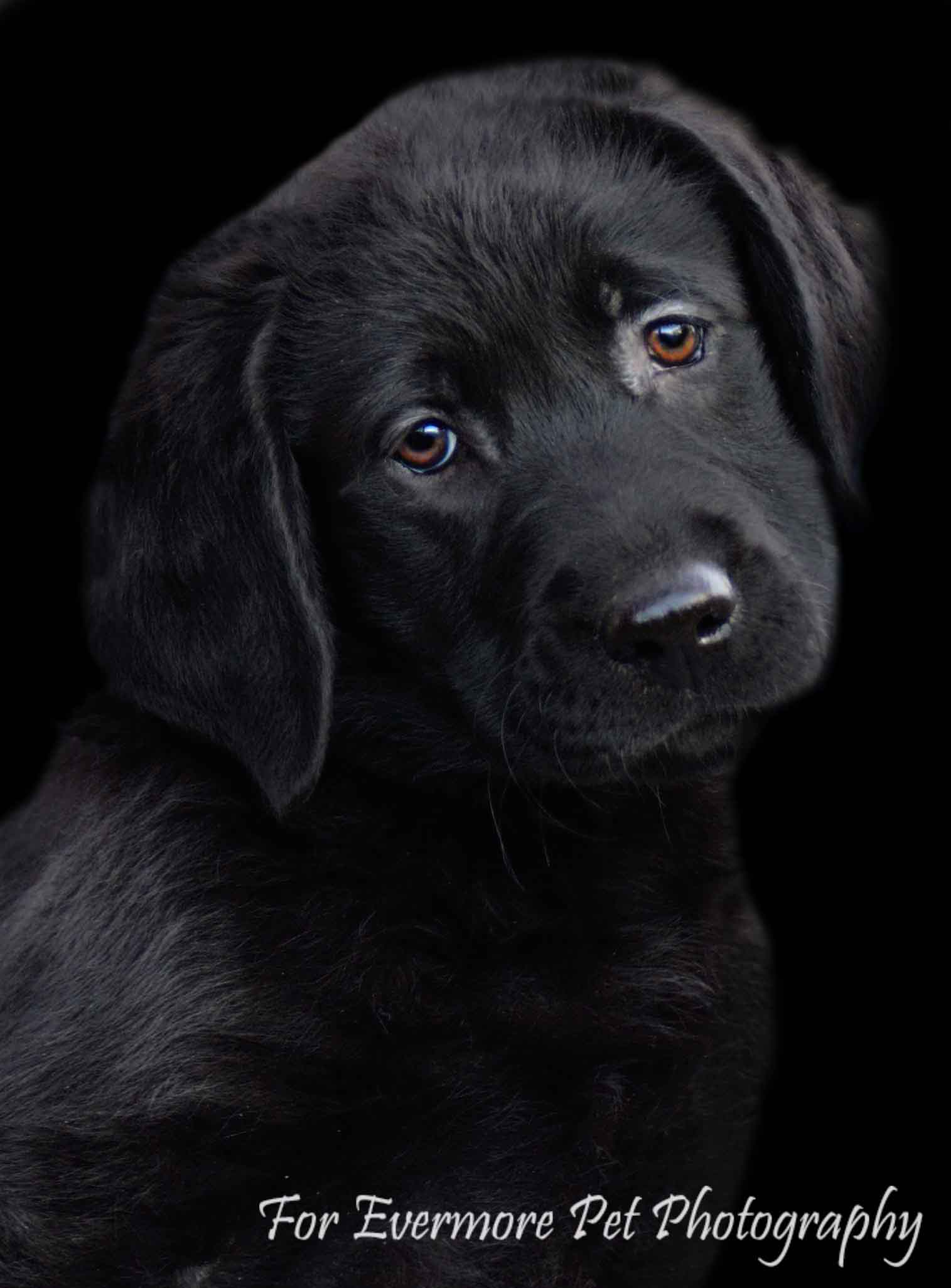 Black Lab puppy Holly