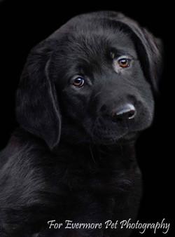 Black Lab puppy Holly