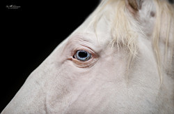 Blue eyed Andalusian