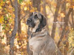 Recon a handsome  Mastiff mix