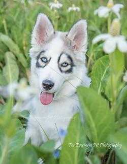 Suki the Siberian husky