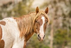 Wild horse Paint stallion