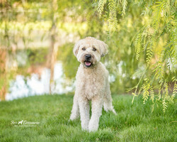 Luca the Wheaton Terrier
