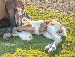Wild horse filly