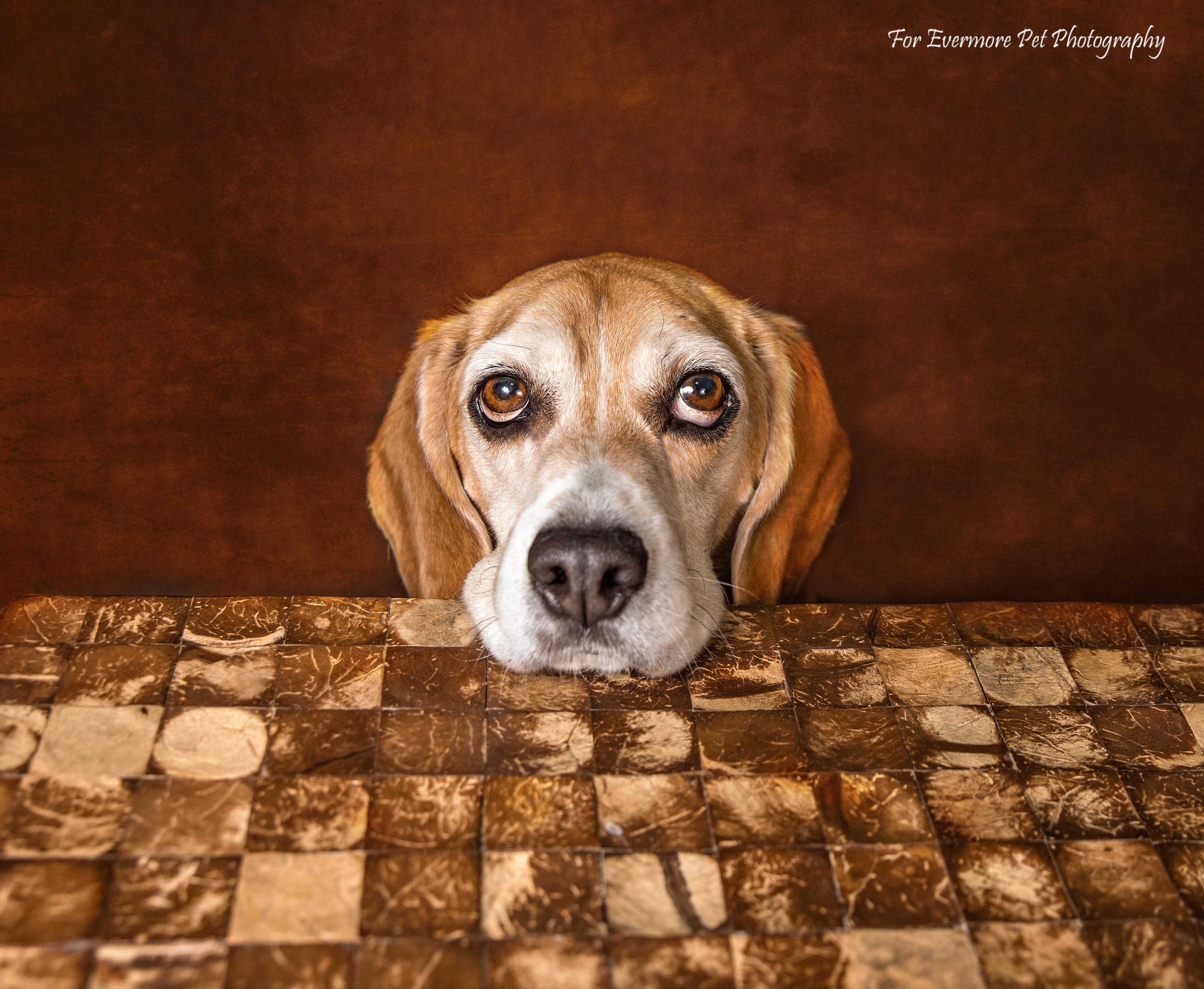 Beagle rescue