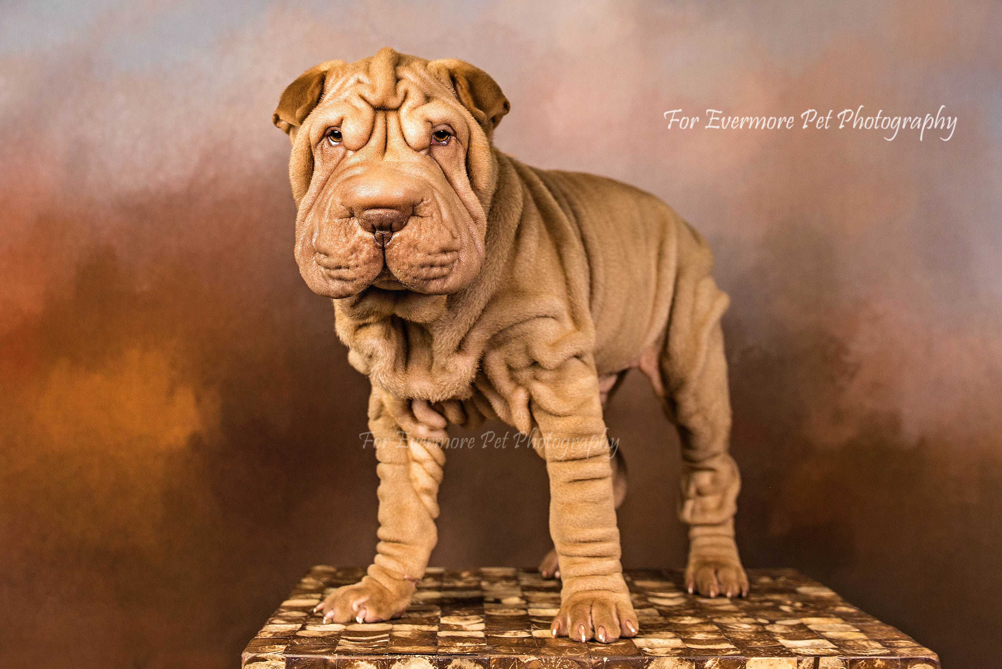 Teddy the Shar Pei