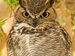 Handsome Great Horned Owl portrait
