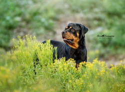 Lady the Rottweiler
