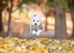 Daisy the Jack Russell flying