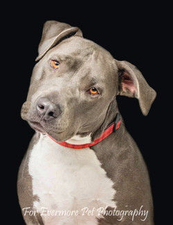 Blue the Pit Bull
