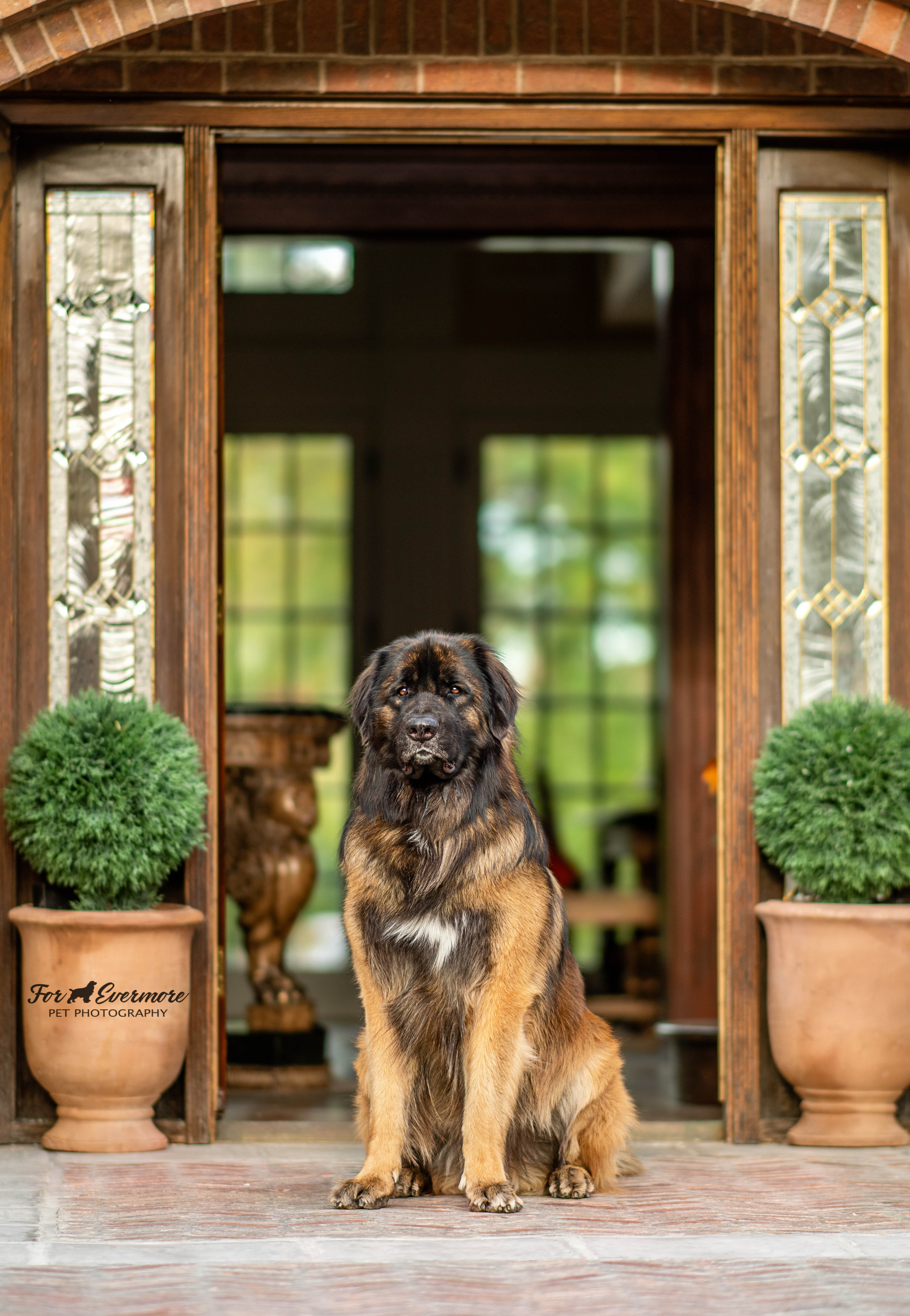 Jake the Leonberger