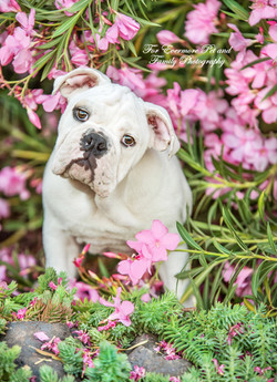 Gus the English Bull dog