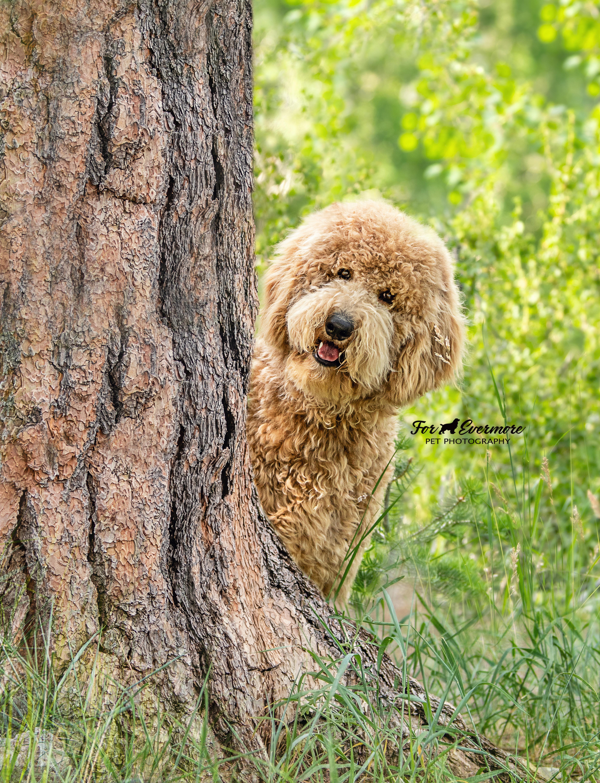 Clutch the Golden Doodle puppy