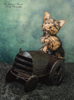Teddy the Yorkie puppy