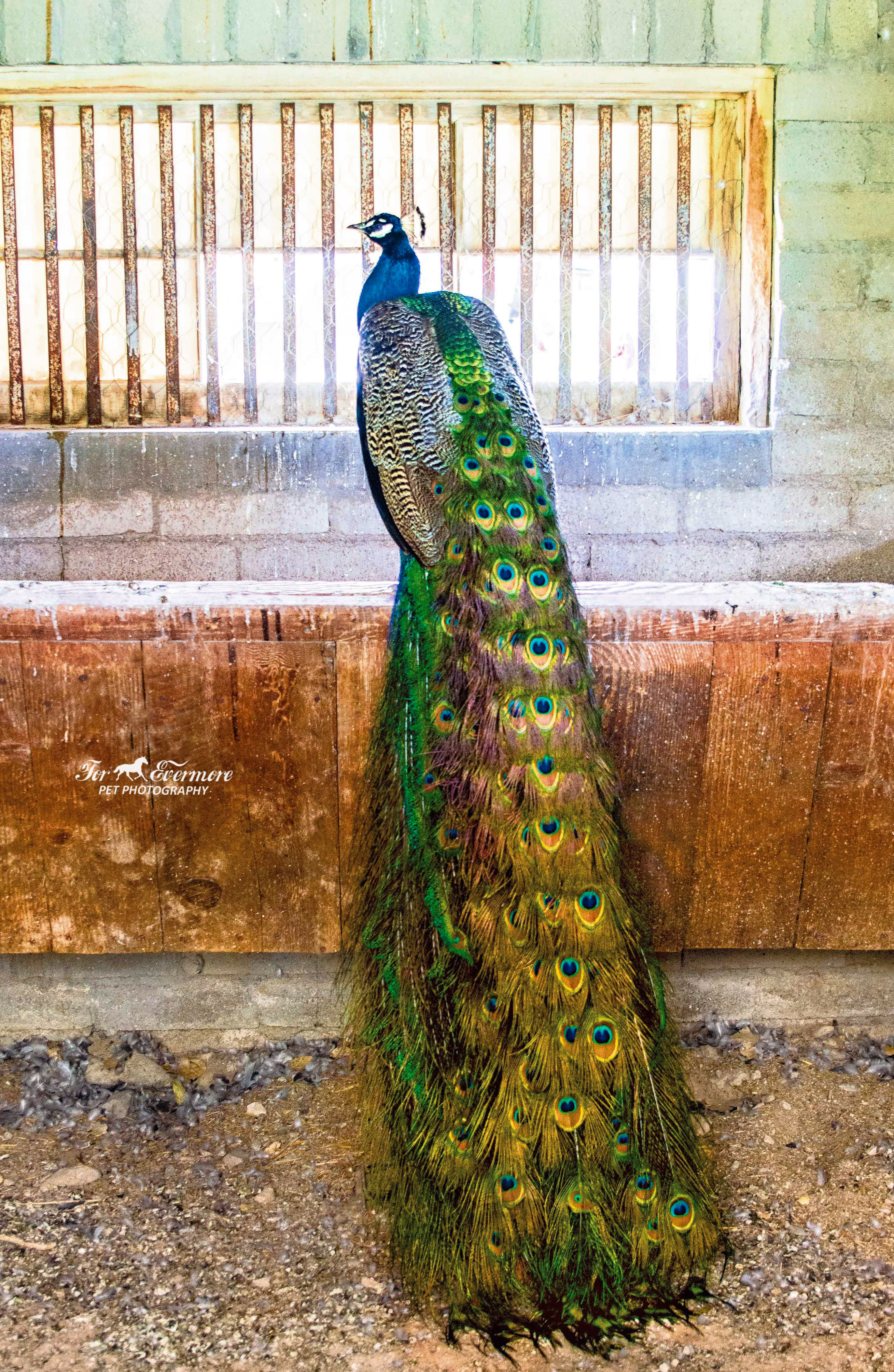 Peacock hanging out in a old stable