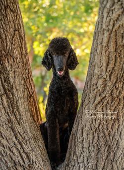 Kona the Standard Poodle puppy