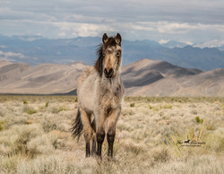 Wild horse yearling