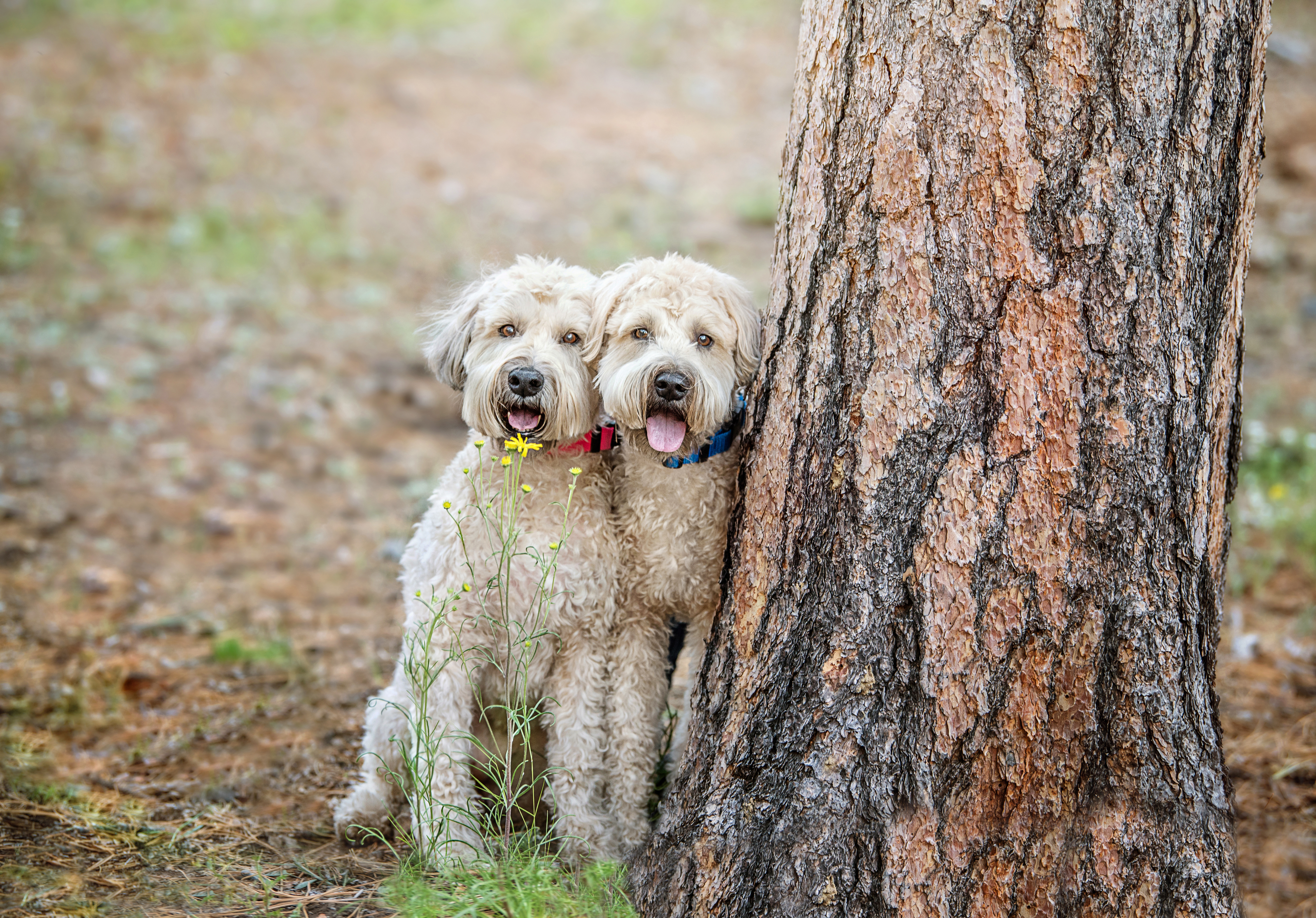The Wheatons Terriers