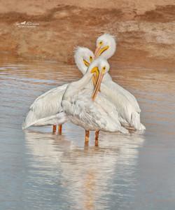 Trio of Pelicans