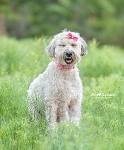 Lucky the Wheaton Terrier