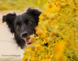 Charlie the Border Collie