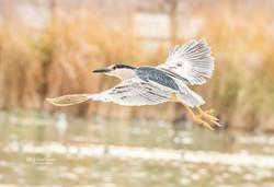 Night Crowned  Heron in flight