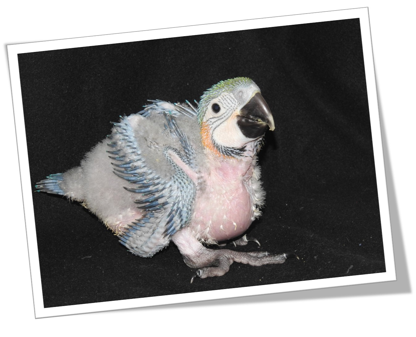 11 Baby Macaw
