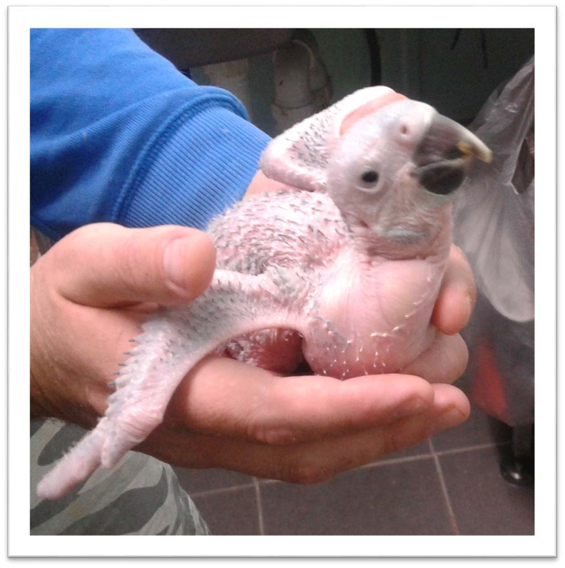 7 Baby Macaw