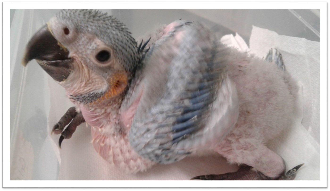 10 Baby Macaw