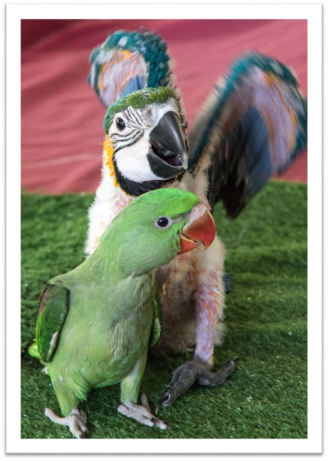 16 Baby Macaw
