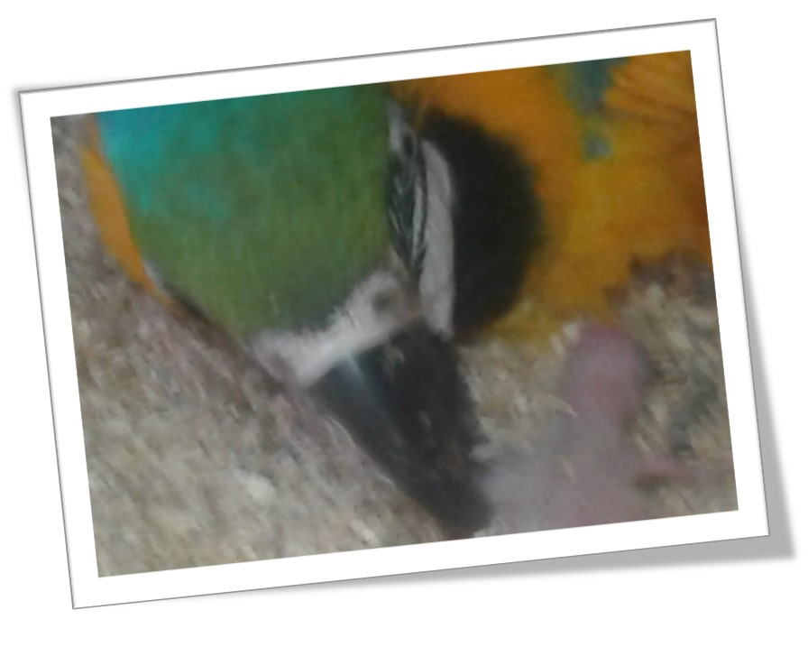 4 Baby Macaw