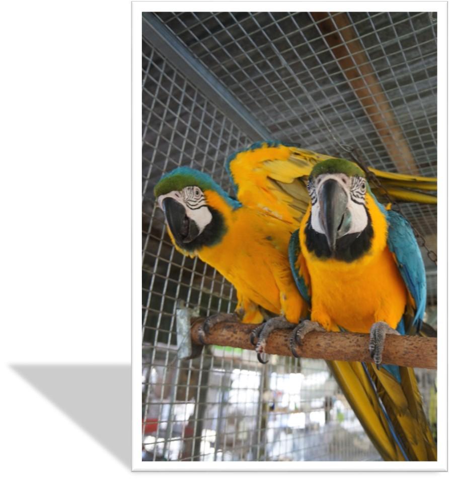 2 Parents macaw