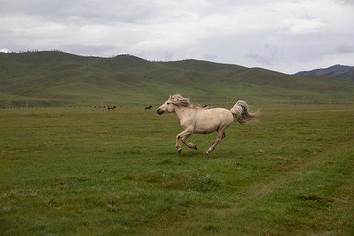 "Caballo Salvaje, de la serie ""Estepas Mongolianas"""