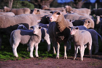 Sheep in a paddock