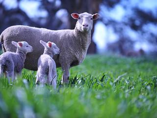 Lamb survival at it's best