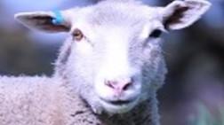 Sheep EID Myths & Madness