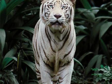 Mehr Gelassenheit im Herbst - Wie der wilde Tiger Dir dabei weiterhelfen kann.