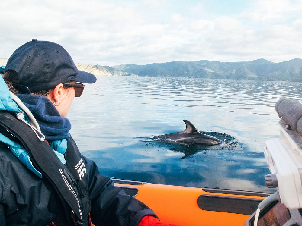 Marine Conservation volunteering, Dusky Dolphins New Zealand