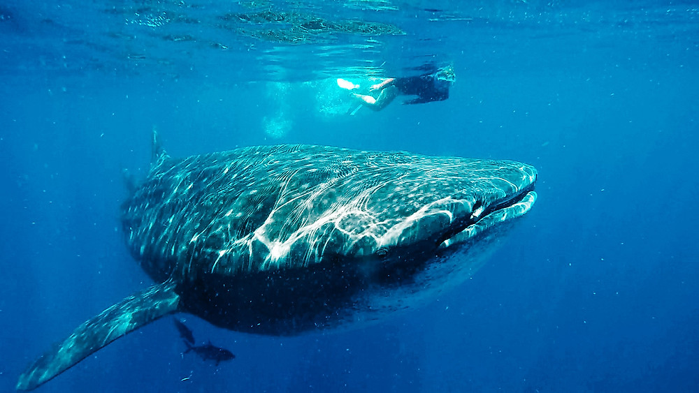 Marine Conservation volunteering, Whale Sharks Mexico