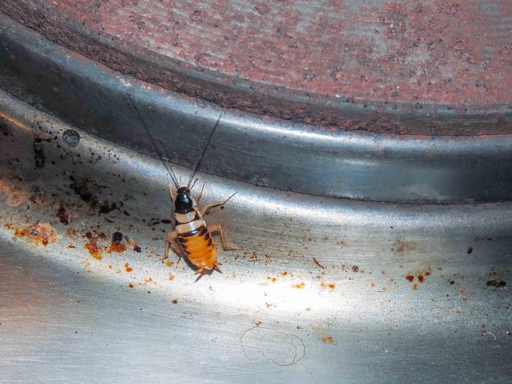 Boric Acid, eco-friendly cockroach kille