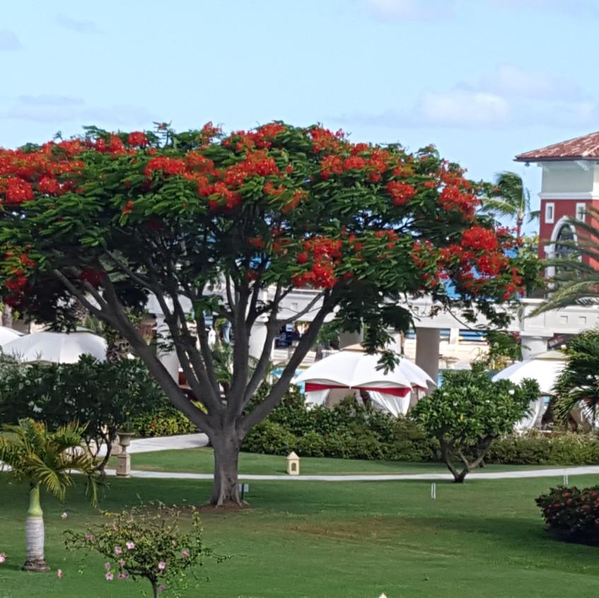 Beautiful Royal Poinciana trees adorn the property
