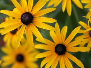 Pioneer Flowers
