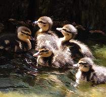 picture of 5 ducklings